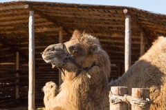 The camel stands on farmstead in the open-air cage Royalty Free Stock Photography