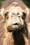 Camel stare, portrait. Funny camel in closeup, portrait Royalty Free Stock Photography