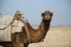 Camel. Staring right into the camera Royalty Free Stock Photos