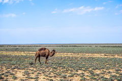 Camel staying in scrub desert Stock Photo