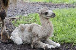 Camel step 3 Stock Photos
