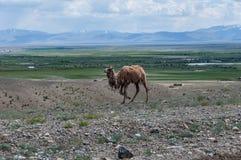 Camel steppe mountain Stock Photo