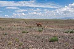 Camel steppe mountain Royalty Free Stock Images