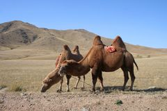 Camel in the steps of Mongolia. Two camels in the steps of Mongolia royalty free stock images