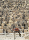 Camel stood by a pyramid. In Egypt Stock Photos