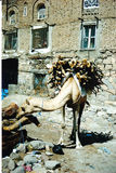 Camel. In the streets of Taiz Royalty Free Stock Photography