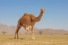 Camel Suckling Royalty Free Stock Photography