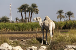 Camel on the sugar cane field Stock Photography