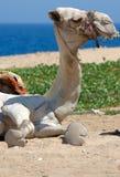 Camel at sun Royalty Free Stock Photos