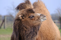 Camel in the sun Royalty Free Stock Photography
