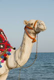 Camel on the sunny seaside Royalty Free Stock Photography