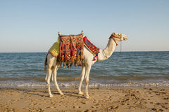 Camel on the sunny seaside Royalty Free Stock Photo