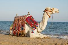 Camel on the sunny seaside. Arabian camel walks in the sun near the sea Royalty Free Stock Image