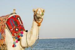 Camel on the sunny seaside Stock Photos