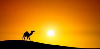 Camel at sunset Stock Photo