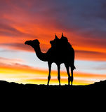 Camel Sunset Illustration Stock Photos