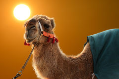 Camel. With sunset in Kuwait royalty free stock photography