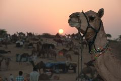Camel at sunset at Pushkar Camel Festival in rajastan  India. Camel at sunset at the Pushkar camel festival rajastan india Stock Photos