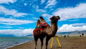 camel-Swan Lake-Bayanbulak Grassland Stock Image