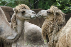 Camel sweethearts Stock Photo