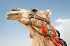 Camel in Syria. Camel in the Syrian desert Royalty Free Stock Images