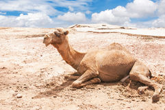 Camel. A camel taking a rest in the desert Royalty Free Stock Image