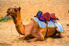 A camel taking rest in a desert on a sunny afternoon. After taking tourists for desert safari in Thar desert, Rajasthan, India stock images