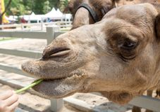 Camel taking salad leaves Royalty Free Stock Images