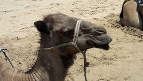 Camel of tangier. In beach camel eating good Royalty Free Stock Images