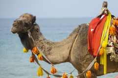 Camel. And tank at sea cost of Socotra island, Yemen Stock Images