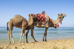 Camel. And tank at sea cost of Socotra island, Yemen Stock Photography