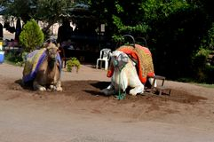 Camel - the taxi. royalty free stock images