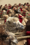Camel team in Dunhuang. Camel team in Duhuang of China Stock Photography
