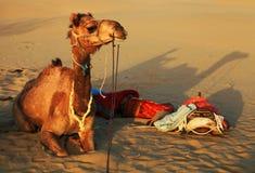 Camel in Thar Desert Royalty Free Stock Photo