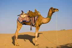 Camel in Thar desert Stock Images