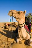 Camel in Thar desert Royalty Free Stock Photos