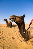 Camel in Thar desert Stock Image
