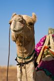 Camel in Thar desert Royalty Free Stock Photography