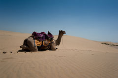 Camel in Thar Desert, India Stock Photo
