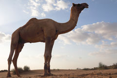 The camel Royalty Free Stock Images