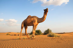 The camel. In Thar desert of Jaisalmer in Rajasthan.Camel front legs tied up, in case it runs away Royalty Free Stock Images