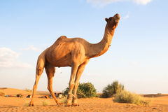 The camel Royalty Free Stock Image