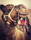 Camel in the Thar Desert Transpotation Heat Concept Royalty Free Stock Photo
