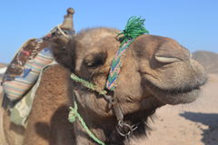 Camel. In their natural habitat. Bedouin village Royalty Free Stock Photography