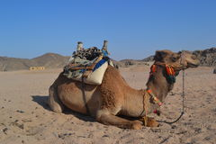 Camel. In their natural habitat. Bedouin village stock photos