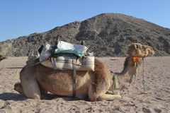 Camel. In their natural habitat. Bedouin village Royalty Free Stock Photos