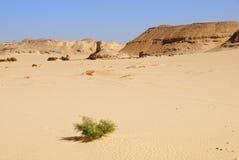 Camel Thorn in the desert Stock Photo