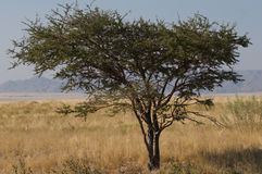 Camel Thorn Tree Royalty Free Stock Photos