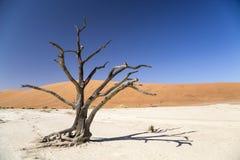 Camel thorn tree - Deadvlei Stock Photos
