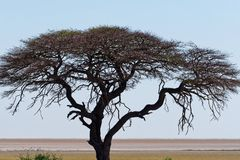 A magnificent camel thorn tree stands on the savanna of Etosha royalty free stock photo